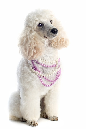 beautiful purebred poodle in front of a white background photo