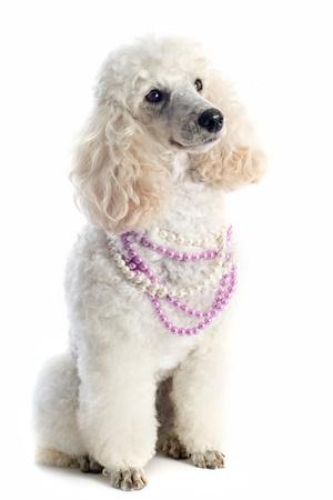 poodle de pura raza hermosa delante de un fondo blanco