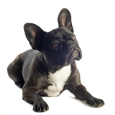 french bulldog: portrait of a purebred french bulldogin front of white background