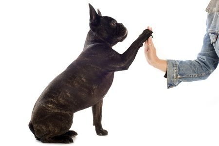 loving hands: a french bulldog giving his paw to his owner