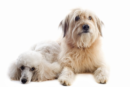 portrait of a pyrenean sheepdogand poodle in front of a white background Stock Photo - 15994019