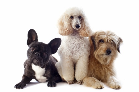 white shepherd dog: portrait of a pyrenean sheepdog, poodle and french bulldog in front of a white background Stock Photo
