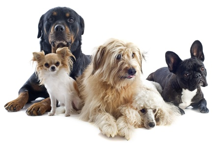portrait of a pyrenean sheepdog, poodle, rottweiler, chihuahua and french bulldog in front of a white background Imagens