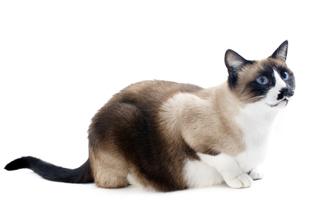 oriental white cat: beautiful purebred siamese cat in front of white background Stock Photo