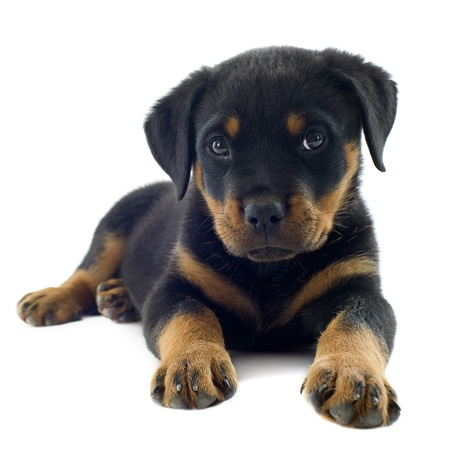 portrait of a purebred puppy rottweiler in front of white background Reklamní fotografie