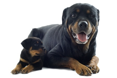 portrait of a purebred puppy rottweiler and adult in front of white background Stock Photo