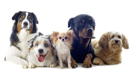 purebred australian shepherd, chihuahua, rottweiler and griffon  in front of white background photo