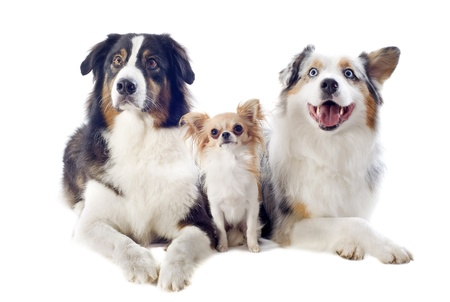 purebred australian shepherds and chihuahua  in front of white background photo