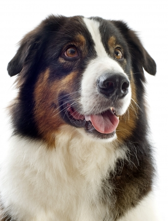 australian shepherd: head of australian shepherd  in front of white background