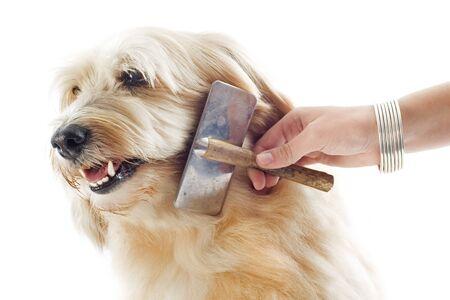 kam: verzorgen van een griffon in de voorkant van een witte achtergrond Stockfoto