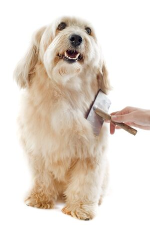 dog grooming: grooming of a griffon in front of white background