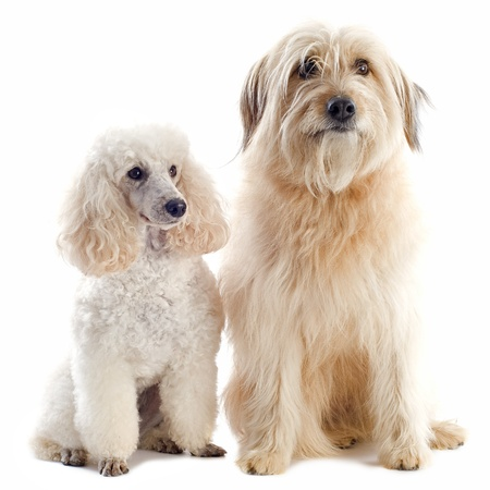 beautiful purebred poodle and pyrenean sheepdog in front of a white background Stock Photo - 16086368