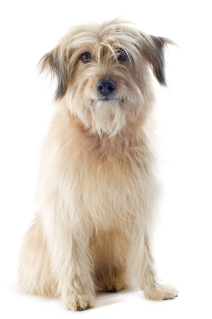 pyrenean: portrait of a pyrenean sheepdog in front of a white background