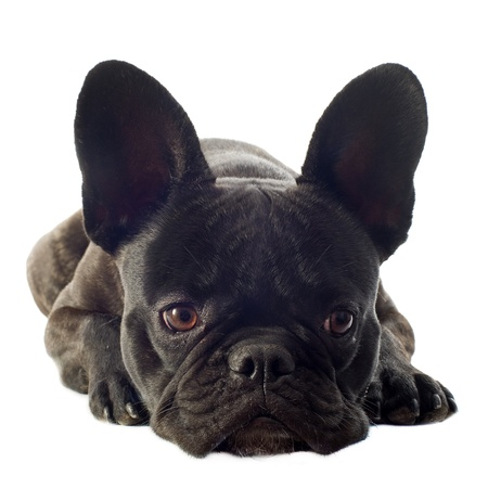 portrait of a purebred french bulldog in front of white background photo