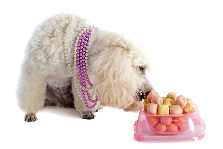 dog treat: beautiful purebred poodle in front of a white background