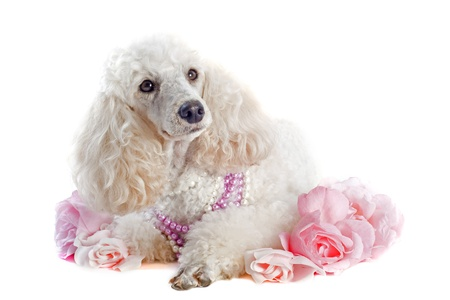 beautiful purebred poodle with flowers in front of a white background photo
