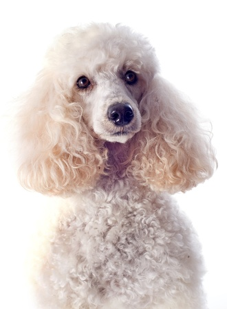 poodle: beautiful purebred poodle in front of a white background