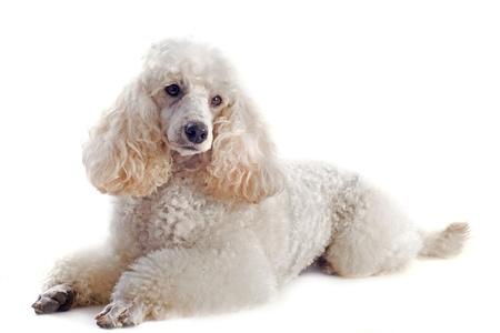 poodle de pura raza hermosa delante de un fondo blanco Foto de archivo