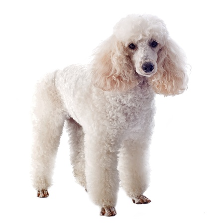beautiful purebred white poodle in front of a white background