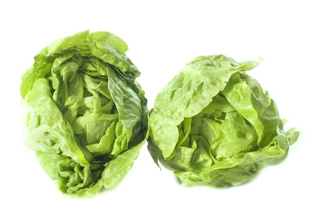 lactuca: two Lactuca quercina sucrine in front of white background