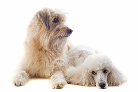 pyrenean: portrait of a pyrenean sheepdog and poodle in front of a white background