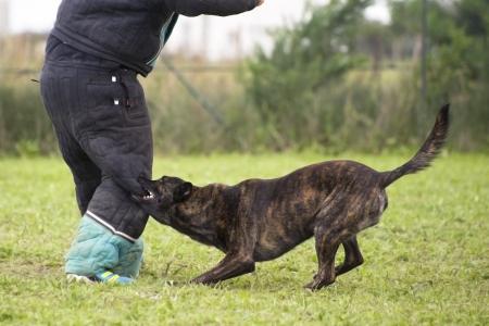 kampfhund: Ausbildung eines holland Hirten, der Mann beißt