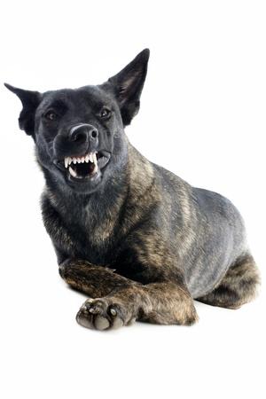 perro policia: retrato de un agresivo pastor holandés en un estudio