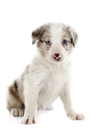 portrait of puppy border collie in front of white background photo