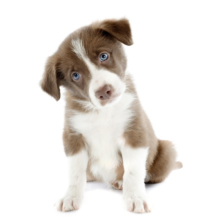 border collie puppy: portrait of puppy border collie in front of white background