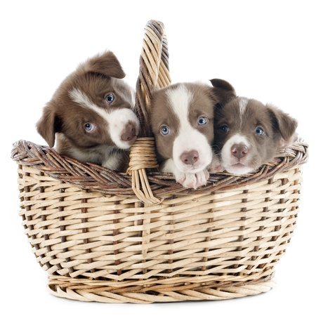 portrait of puppies border collies in a basket in front of white background Stock Photo