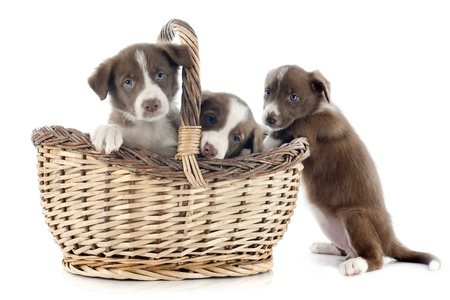 portrait of puppies border collies in front of white background photo
