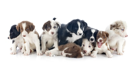 border collie: portrait of puppies border collies in front of white background
