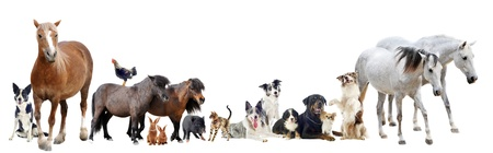 domestic horses: group of farm animals and pets in front of white background