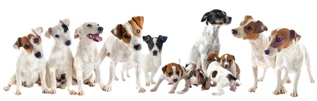 group of purebred jack russel terrier in studio photo