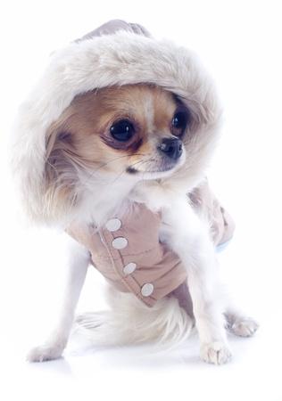 perros vestidos: grupo de chihuahua vestido en frente de fondo blanco
