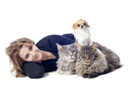 portrait of a purebred  maine coon cats , chihuahua and woman on a white background Stock Photo - 16883334