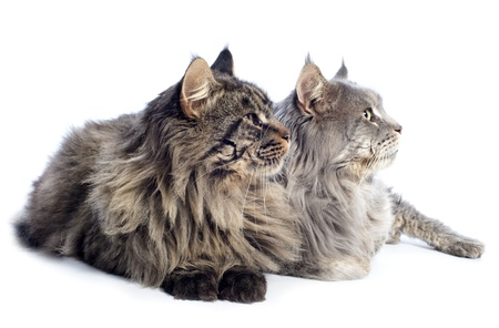 portrait of a purebred  maine coon cats on a white background Stock Photo - 16898102