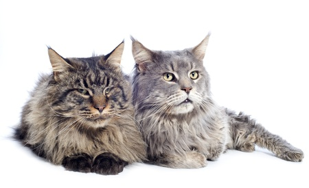 portrait of a purebred  maine coon cats on a white background Stock Photo - 16898101