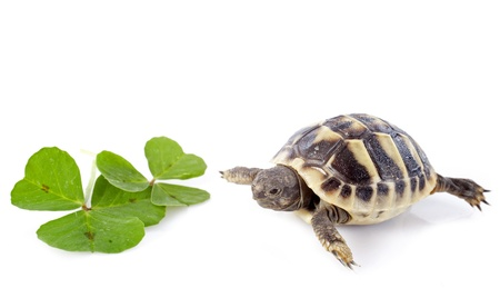 young tortoise and trefoil isolated on a white isolated  Stock Photo - 17333337