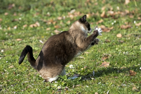 beautiful purebred siamese cat catching a mouse Stock Photo - 17333395