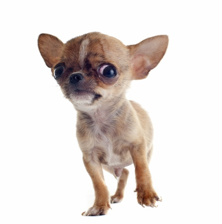 portrait of a cute purebred  puppy chihuahua in front of white background Stock Photo - 17676491