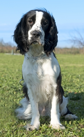 portrait of a black and white purebred cocker spaniel on a blue sky Stock Photo - 17676508