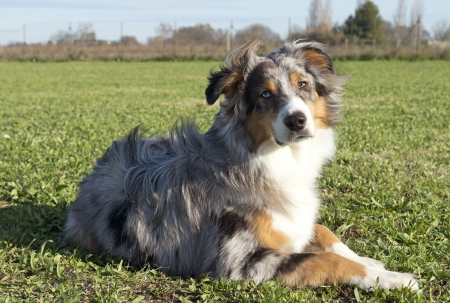 portrait of purebred australian shepherd in a field Stock Photo - 17676528