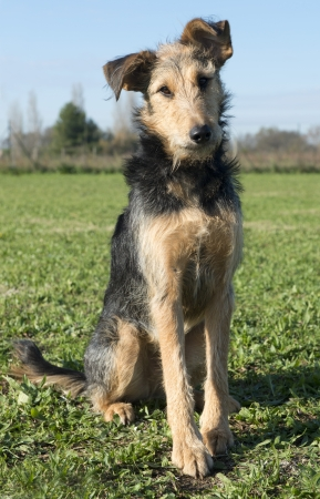 portrait of a mix airedale terrier in the nature Stock Photo - 17676520