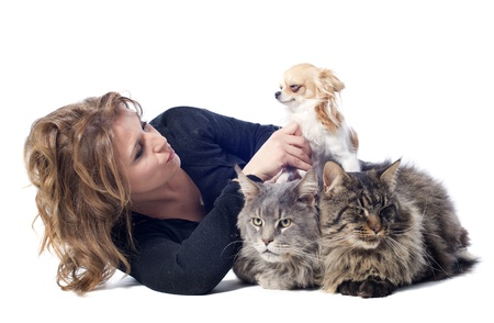 portrait of a purebred  maine coon cats , chihuahua and woman on a white background photo