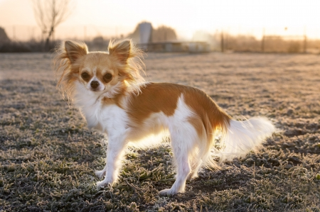 portrait of a cute purebred chihuahua in winter Stock Photo - 17676519