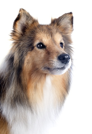 portrait of a purebred shetland dog in front of white background Stock Photo - 17676517