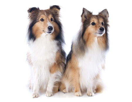 portrait of a purebred shetland dogs in front of white background Stock Photo - 17676503