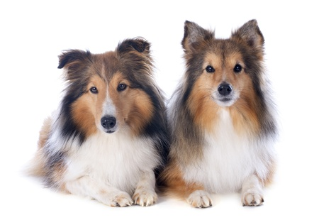 portrait of a purebred shetland dogs in front of white background Stock Photo - 17676510