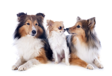 portrait of a purebred shetland dogs and chihuahua in front of white background Stock Photo - 17676514